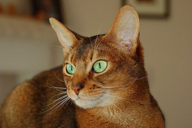 Very beautifull Ruddy Abyssinian Cats With cute Green Eyes