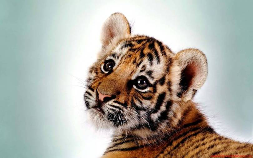 Very cute Little Tiger Desktop in 4K Wallpaper