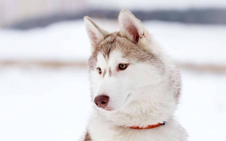White Beautiful Husky Hd Wallpaper