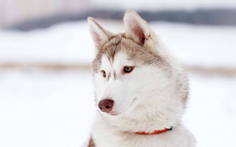 White Beautiful Husky Hd Wallpaper