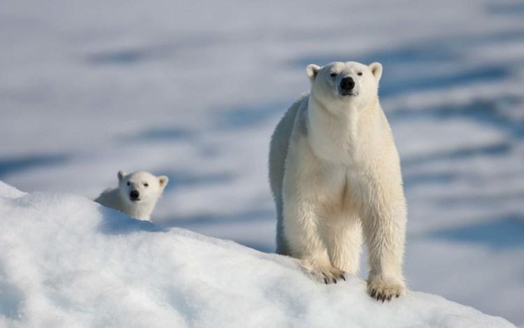 White Polar Bear With Her Son 4k Wallpaper