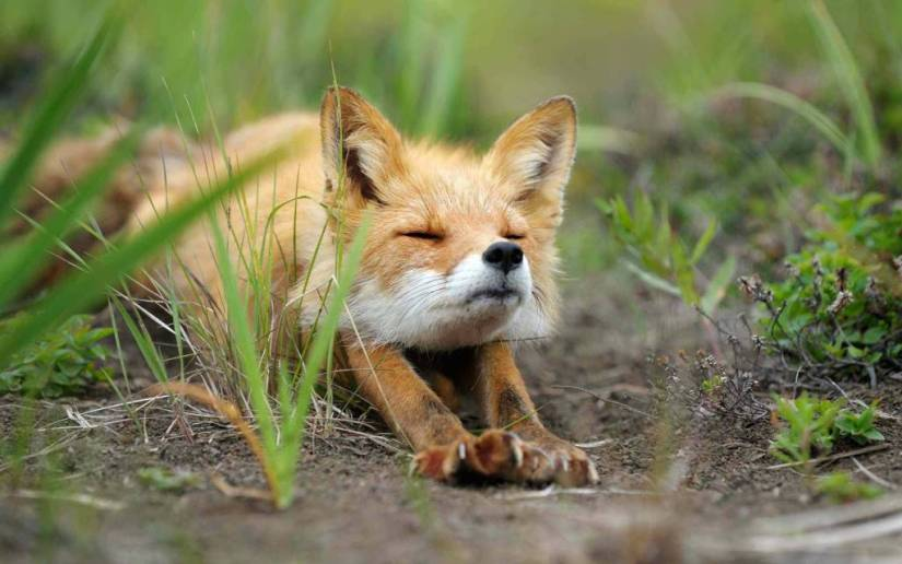 Wild Fox Seems Lazy 4k Wallpaper