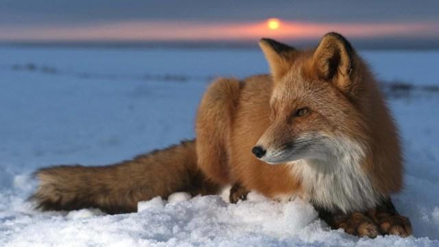 Wonderful Fox On The Heavy Snow In Hd