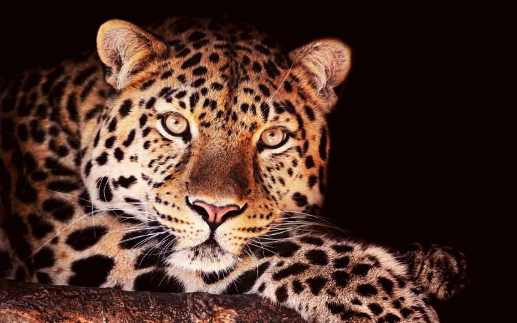 wonderful-leopard-look-at-us-full-hd-wallpaper