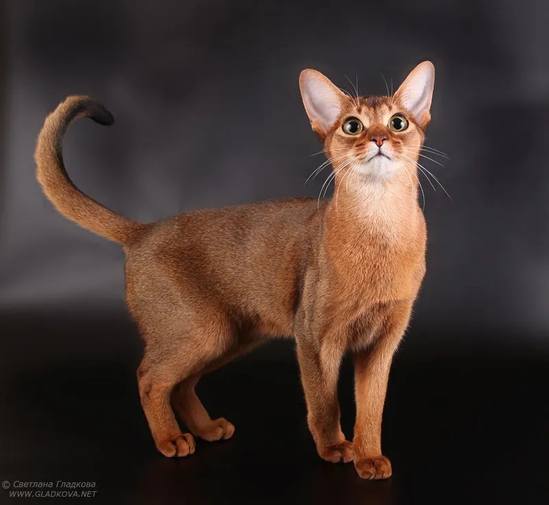 Wonderful Red colour Abyssinian Cats Is So cute