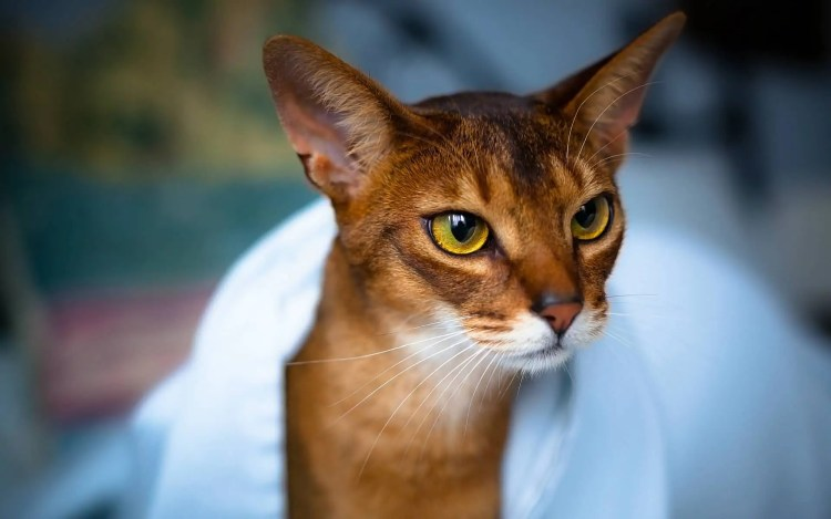 Wonderfull Red Ruddy Abyssinian Cats With Beautifull Eyes