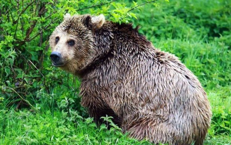 Amazing Big Grizzly Bear Hd Wallpaper