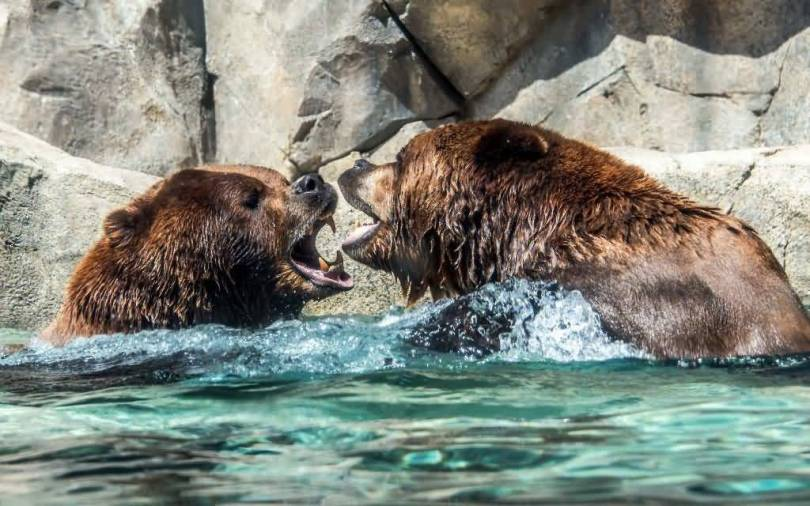 Amazing Two Of The Angry Grizzly Bears Full Hd Wallpaper