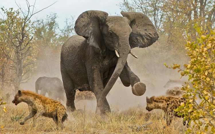 amzing-elephants-and-leopards-in-the-wild-full-animal-hd-wallpaper