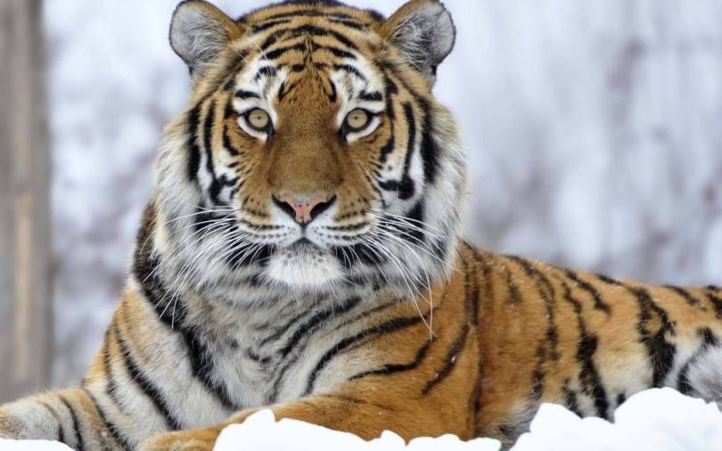 amzing Tiger On The Snow Full Hd Wallpaper