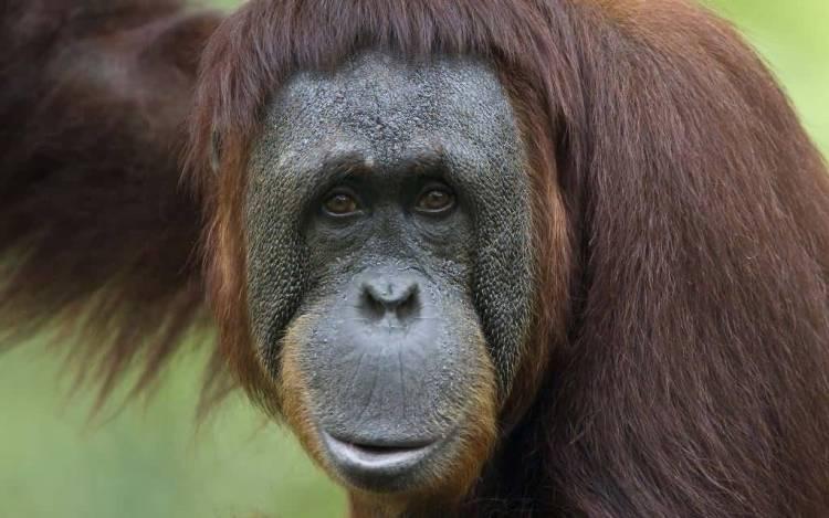 Awesome Monkey Seems Sad Look At Us 4k Wallpaper