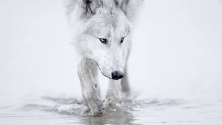 Awesome White Wallpaper Of Wolf Which Is Looking For Something