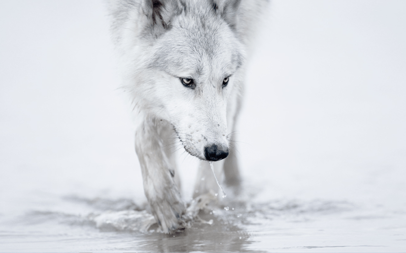 awesome-white-wallpaper-of-wolf-which-is-looking-for-something