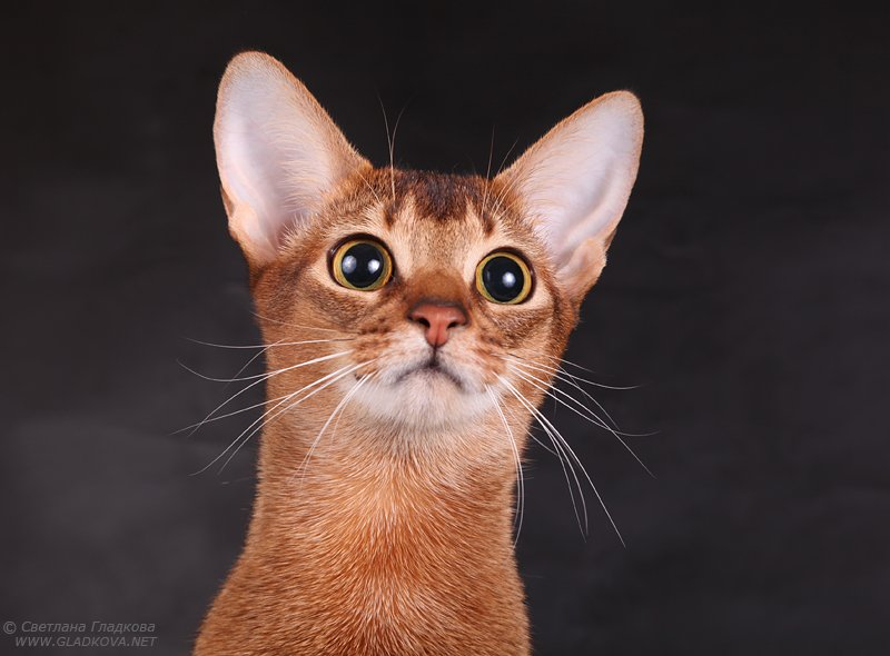 lovely Brown Abyssinian Cats Looking for food