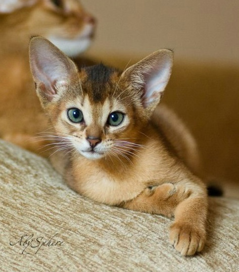 lovely Innocent Abyssinian Cats Have nice Blue Eyes