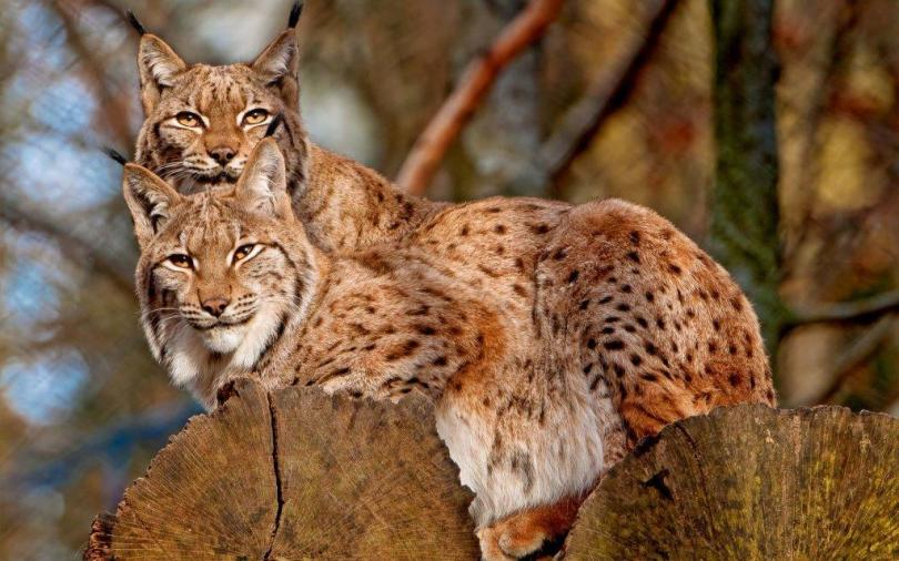 Stunning Two Powerful Leopards Full Hd Wallpaper