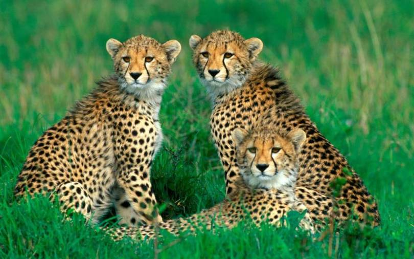 Very Awesome Threeof The Magnificent Leopards Full Hd Wallpaper