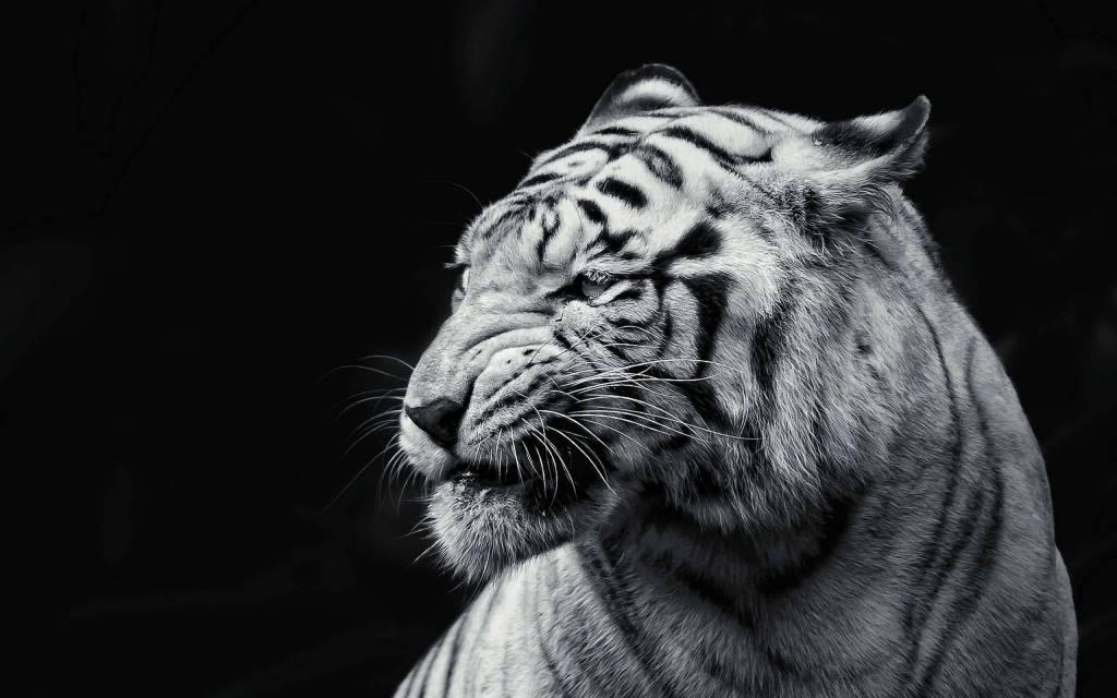 big tiger wallpaper