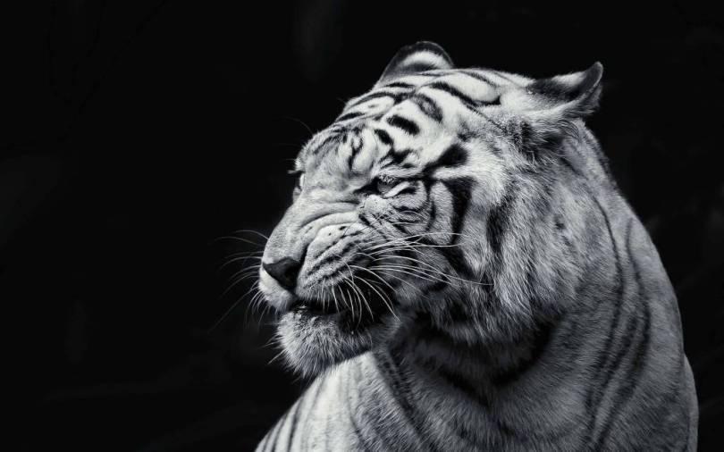 wonderful Black And White Tiger 4K Wallpaper