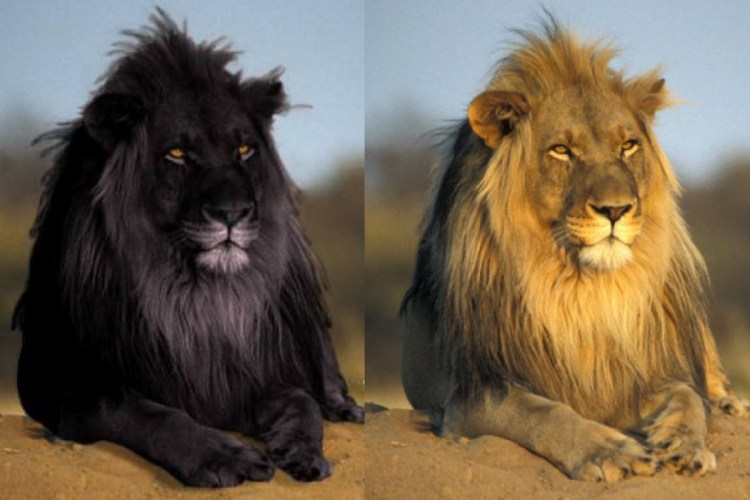 Wonderful Black Lion And Tawny Original Full Hd Wallpaper