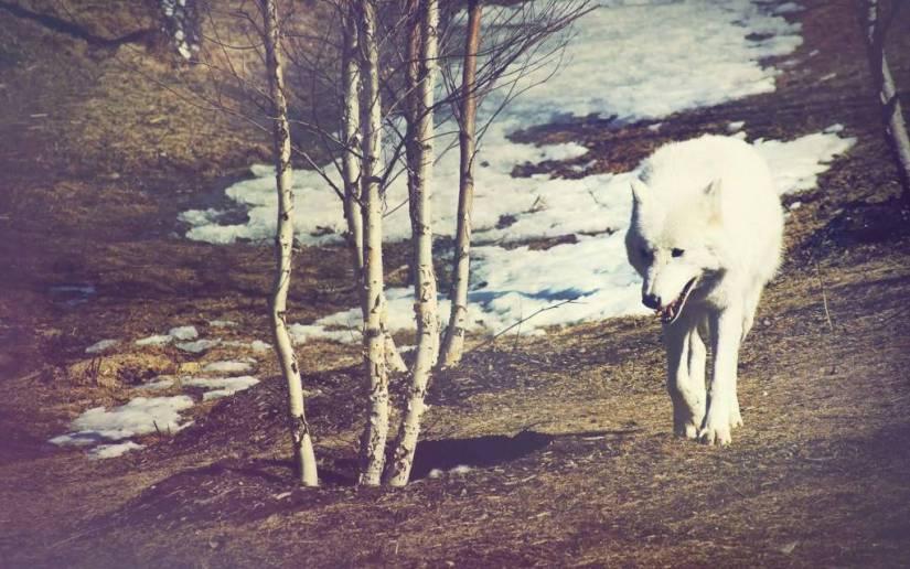 Amazing Gorgeous White Wolf walking Full HD Wallpaper