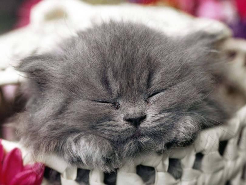 Most Cutest Kitten Slept Innocently Full HD Wallpaper