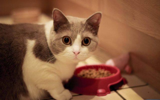 Very Beautiful Cat Eats From His Dish Full HD Wallpaper