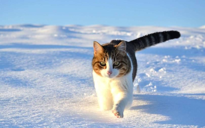 Wonderful Background Handsome Cat Walking On Snow Full HD Wallpaper
