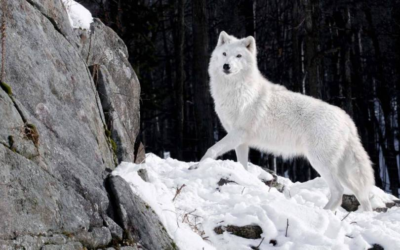 Wonderful White Wolf With Snow full HD Wallpaper