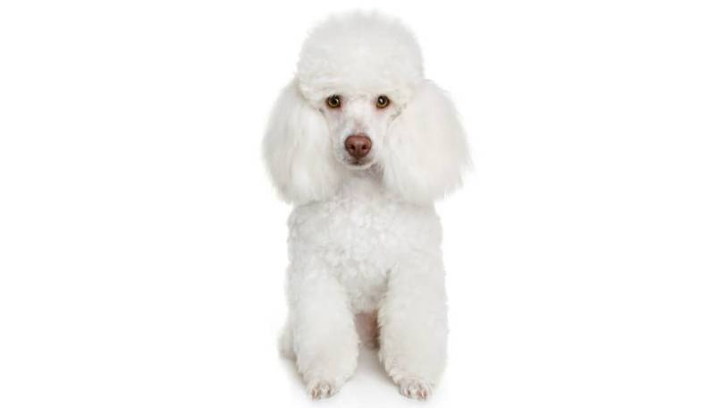 Adorable White Toy Poodle Dog Pup Sitting On Floor