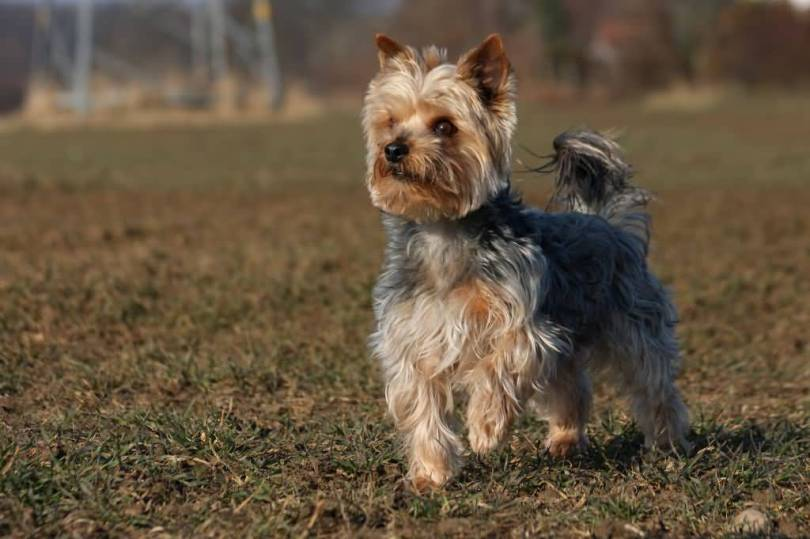 Adorable Yorkshire Terrier Dog In Garden