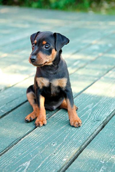 Amazing Doberman Pinscher Puppy Sitting On Wood Floor