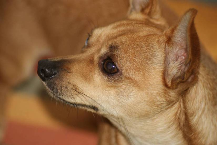 Attractive Chihuahua Dog Face Picture For Wallpaper