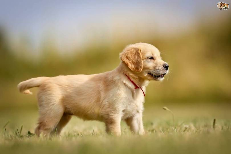 Attractive Golden Retriever Baby Dog On Grass With Beautiful Background