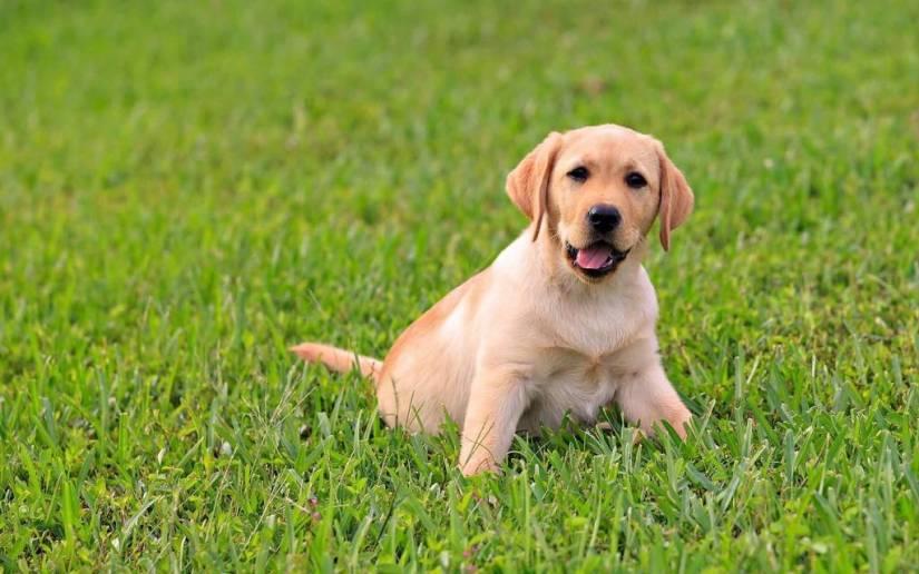 Attractive Labrador Retriever Dog In Garden