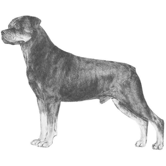 Attractive Rottweiler Dog Sketch Design For Wallpaper