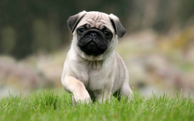 Attractive White Pug Dog With Beautiful Background