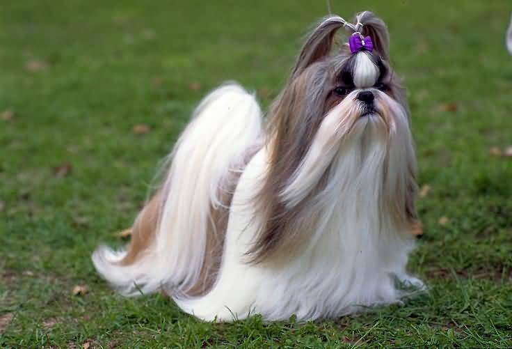 Attractive White Shih Tzu Dog With Beautiful Background