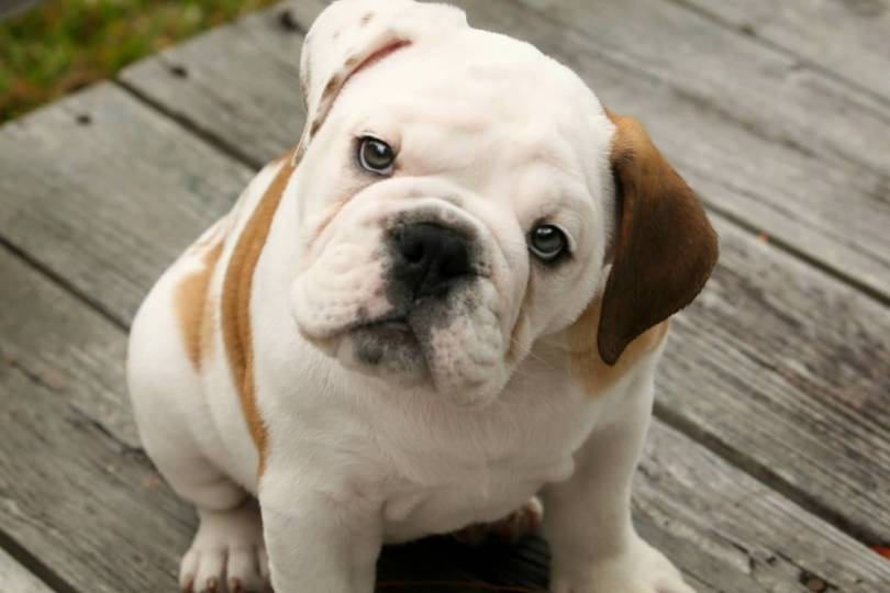 Awesome Bulldog Baby Brown Ear For Wallpaper