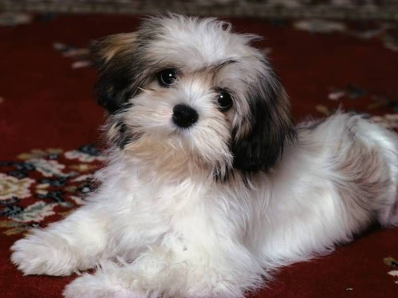 Awesome Shih Tzu Dog Looking At You