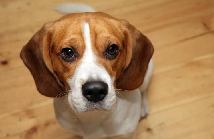 Beautiful Beagle Dog Looking At Boys Any Food