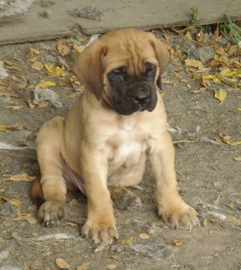 Beautiful Brown English Mastiff Dog Puppy For Wallpaper