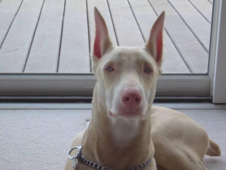 Beautiful Doberman Pinscher Dog Looking At You