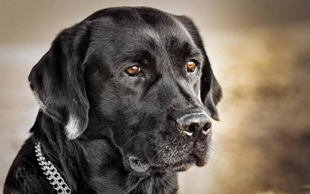 Beautiful Labrador Retriever Dog With Beautiful Background