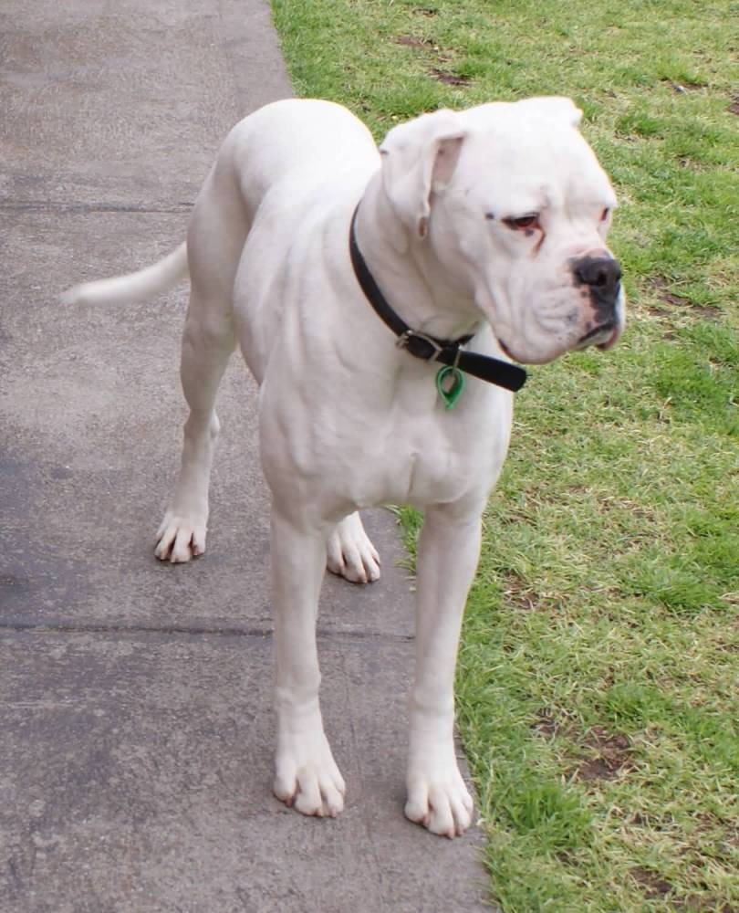Beautiful Pure White Boxer Dog Walking On Road