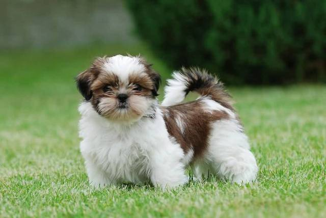 Beautiful Shih Tzu Dog With Beautiful Background