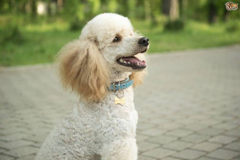 Beautiful White Toy Poodle Dog Pup With Beautiful Background