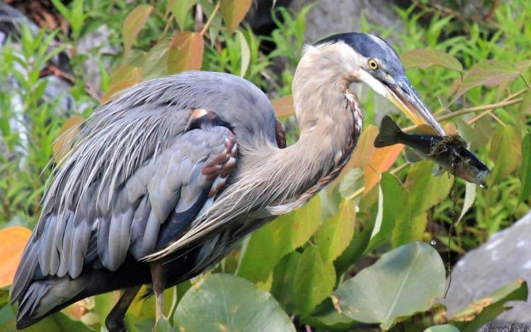 Big Bird Eating Fish In Woods