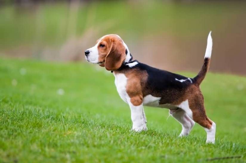 Brilliant Beagle Dog Standing In Park With Beautiful Background
