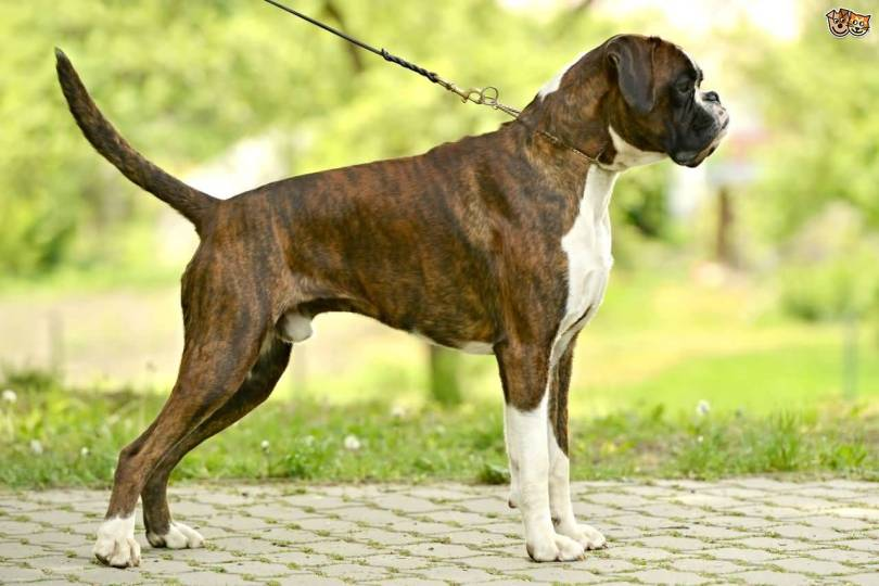 Brilliant Boxer Dog Image For Wallpaper
